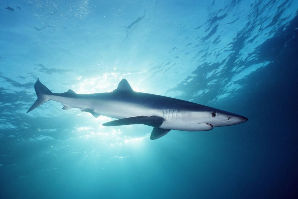 GREAT BLUE SHARK