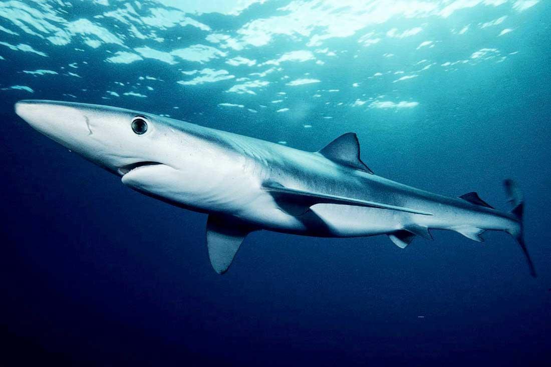 blue-shark trips